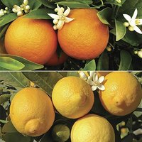 Orange & Lemon Tree set - 9cm pots