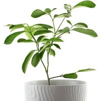 Citrus Lime Tree 9cm pot