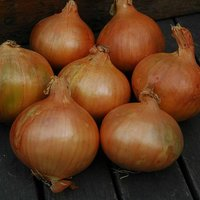 Onion set Stuttgart Giant 50 Bulbs 14/21mm