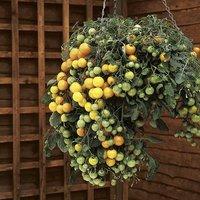 Tumbling Tomato plants Yellow x 12 plugs