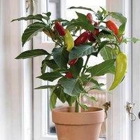 Chilli Pepper Collection 3 x 9cm