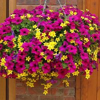Summer Scorcher Surfinia Petunia Hanging Basket Plants - Pack of 24 Plugs