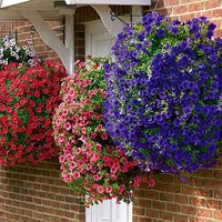 Surfinia Trailing Petunia Hanging Basket/Bedding Plants - Pack of 12 Jumbo Plugs