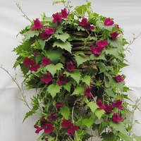 Lofos Wine Red Vine Bedding Plants - Pack of 12 Jumbo Plugs