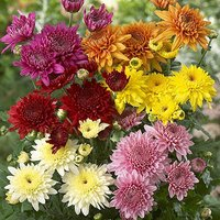 Pack of 12 Garden Spray Chrysanthemum Bedding Plants Jumbo Plugs