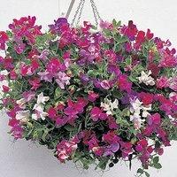 Pack of 12 Fragrant Trailing Sweet Pea Jumbo Plug Plants