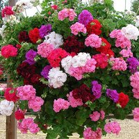 Double Flowered Rosebud Geranium Bedding and Basket Plant