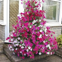 Climbing Groundcover Petunia Tidal Wave Mix of 24 Jumbo Plug