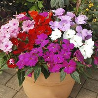 Busy Lizzie Impatiens New Guindea Divine Pack of 24 Jumbo Plug Bedding Plants
