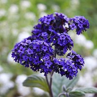 Pack of 6 Heliotrope Blue Plug Plants for Beds, Borders, Pots
