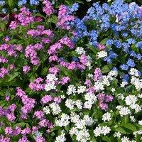 Pack of 12 Forget Me Nots (Myosotis) Plug Plants