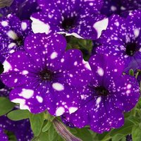 NEW Spotted Petunia Night Sky Bedding Plant Pack of 12