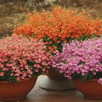 Delicious Diascia Collection of 12 Plugs in Mixed Colours