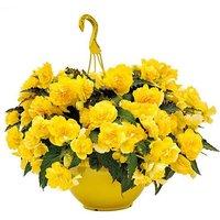 Begonia NonStop 'Joy Yellow' x 12 & 2 Baskets