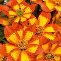 Bidens Bee Alive x 12 plug plants
