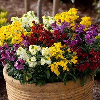 Wallflower Sugar Rush 20 garden ready plants