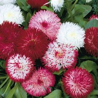 Bellis Bam Bam 20 garden ready plants