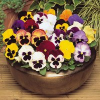 Pansy Matrix Mixed 20 garden ready plants