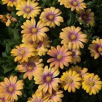 Osteospermum Blushing Beauty 6 jumbo plugs