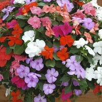 Impatiens Dezire Mixed 20 pack