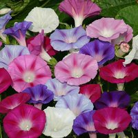Ipomoea Electric Shock set of 12 plug plants