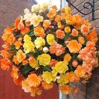 Begonia 'Illumination Apricot Shades' Bedding Plant 20 garden ready