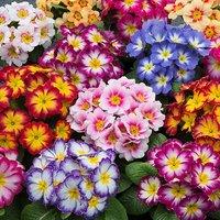 Primrose Bonelli Bicolour Mixed 20 garden ready plants