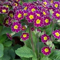 Primula Lilac Lace x 12 Jumbo Plugs