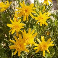Euryops Sunshine Silver Double Yellow 9cm