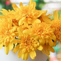 Euryops Sunshine Silver Double Yellow 6 x 9cm