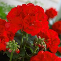 Large Red Zonal Geranium Collection x  12 plugs
