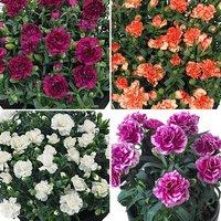 Fragrant Pot Carnation