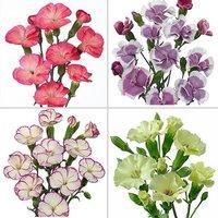 Cut Flower Carnation