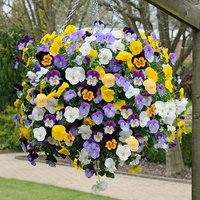 Pansy Cool Wave 20 pack garden ready