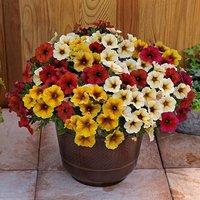 Beautical Petunia Collection 12 plug plants