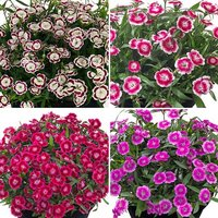 Dianthus Pinks Olivia Collection