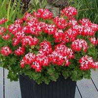 Geranium Summer Twist x 12 plug plants