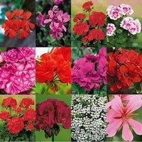 12 Geranium plug plants Mixed