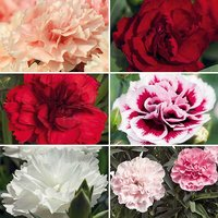 DM Dianthus Sunnybees Collection x 12 plugs