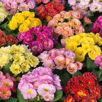 Primula Emotions Mix 20 pack garden ready
