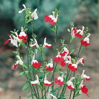 Salvia Hot Lips pack of 12 plug plants