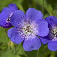 Hardy Geranium Rozanne Set of 3 Garden Ready Plugs Plant of