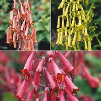 Cape Fuchsia (Phygelius) collection - 6 plugs