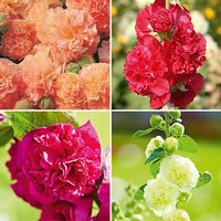 Hollyhock Chaters Double Mix - 12 large plugs