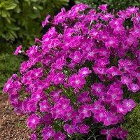 Hardy Dianthus Kahori Pink