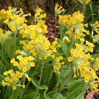 Pack of 12 Cowslip Primula veris Plug Plants
