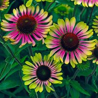 Echinacea 'Green Twister' x 3 gdn ready plugs