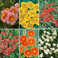 Rock Roses - Helianthemum Collection