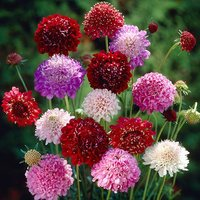 Scabious Chirocco set of 12 plug plants