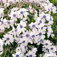 Hardy Carpet Phlox Pharaoh Blue Eye x 6 plugs